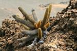Lava cactus (Brachycereus nesioticus)